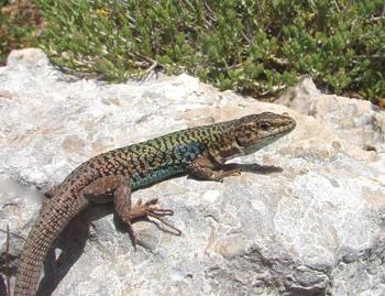 aegean-wall-lizard