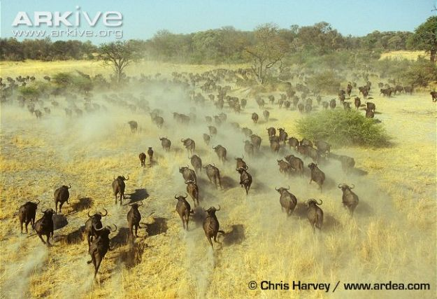 African-buffalo-herd-running-