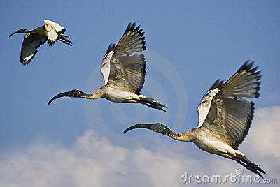 african sacred ibis trio in flight