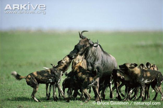 African-wild-dog-pack-hunting-wildebeest
