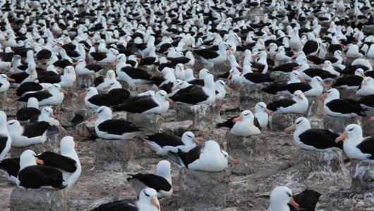albatross flock
