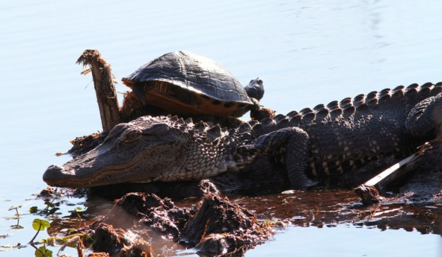 alligator-and-turtle-in-swamp-04