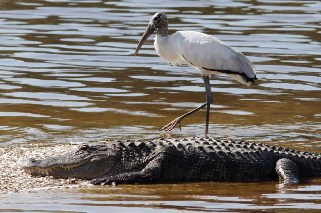 alligator-and-wood-stork