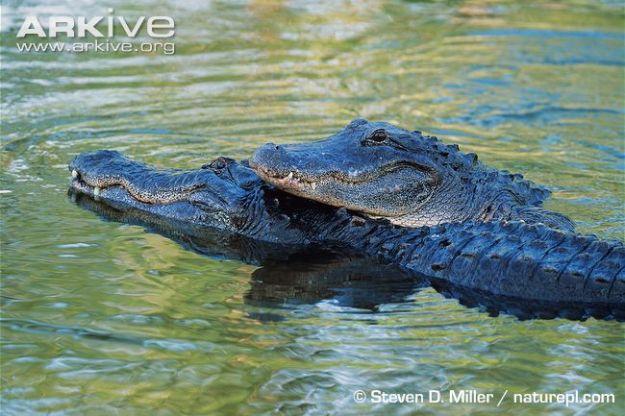 American-alligator-courtship-behaviour