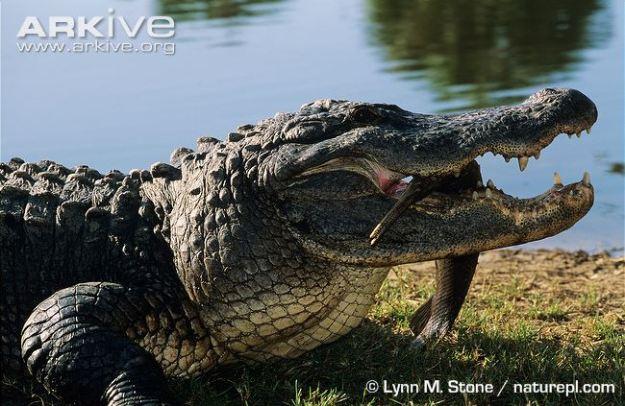 American-alligator-feeding-on-a-fish