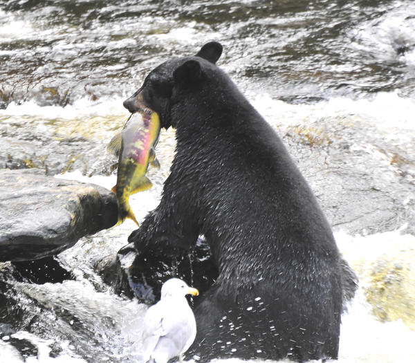 american-black-bear-with-a-salmon-clarence-alford