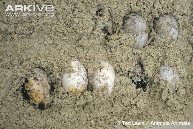 American-crocodile-eggs-in-nest