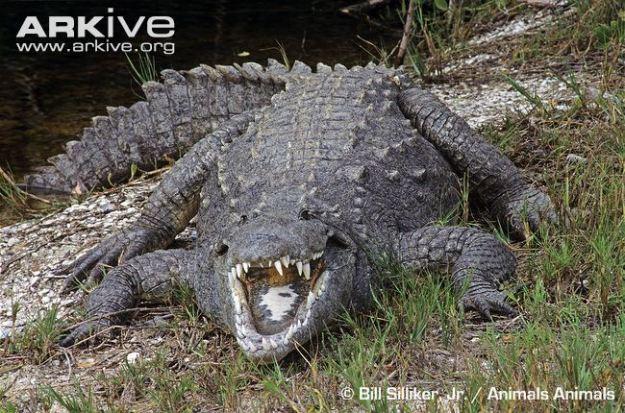 American-crocodile
