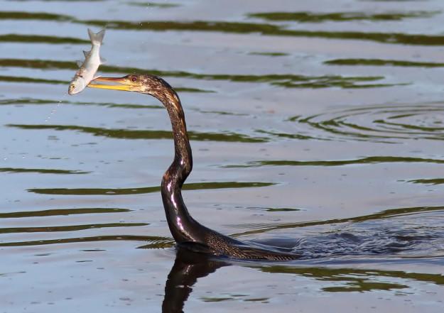 anhinga-fishing-031