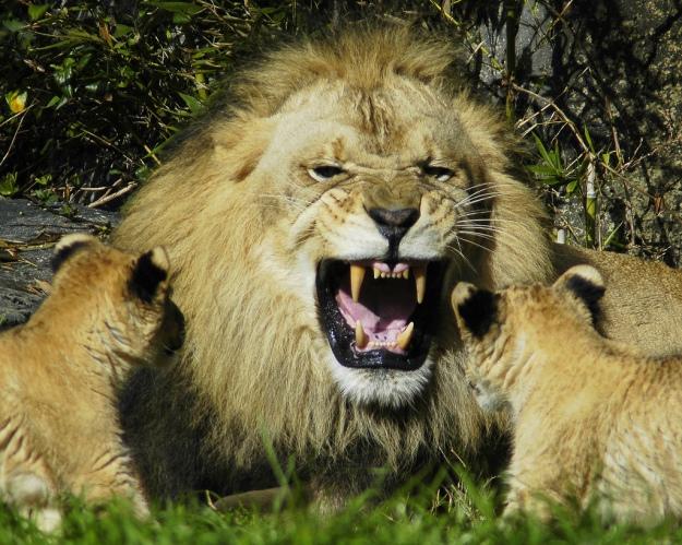 animal-picture-male-lion-cubs-ucumari