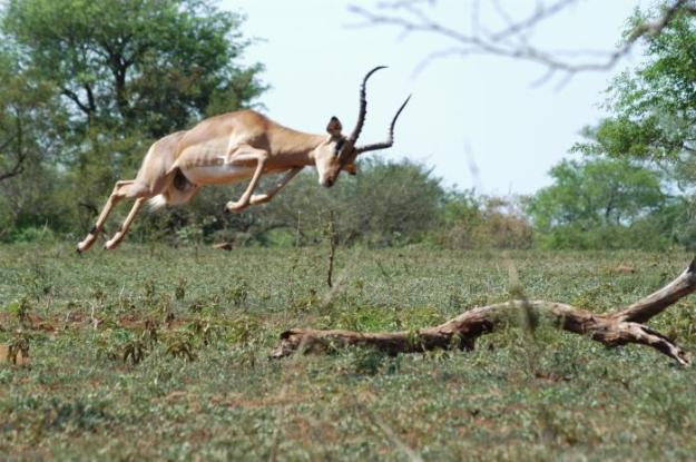 antelope jumping1