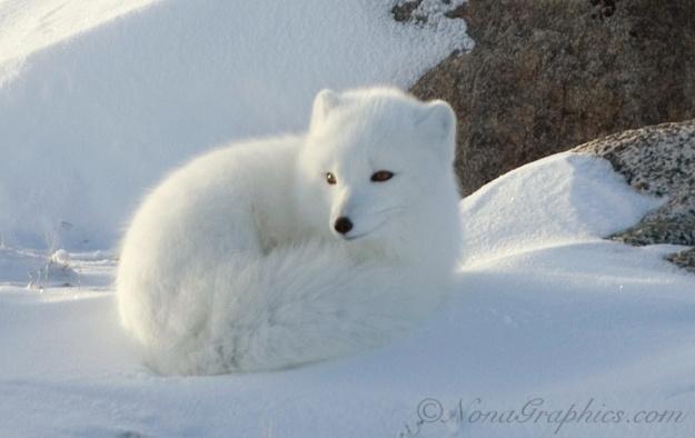 arctic-fox cub