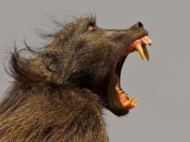 baboon chacma yawning