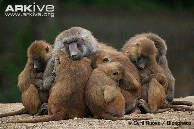 baboon guinea resting with females