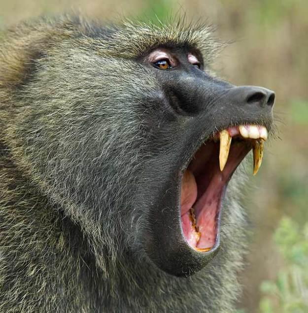 baboon olive yawning