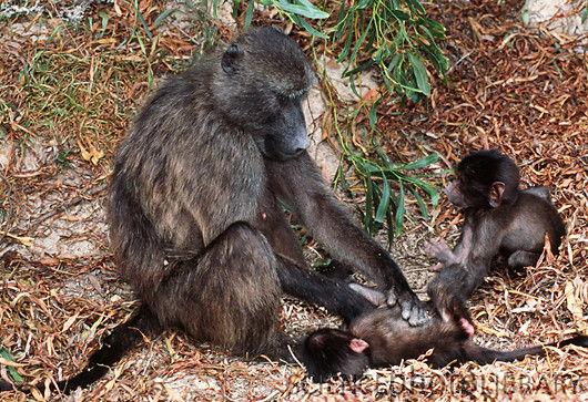 baboon yellow family