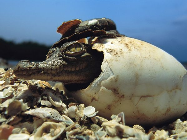 baby-american-crocodile_12_600x450