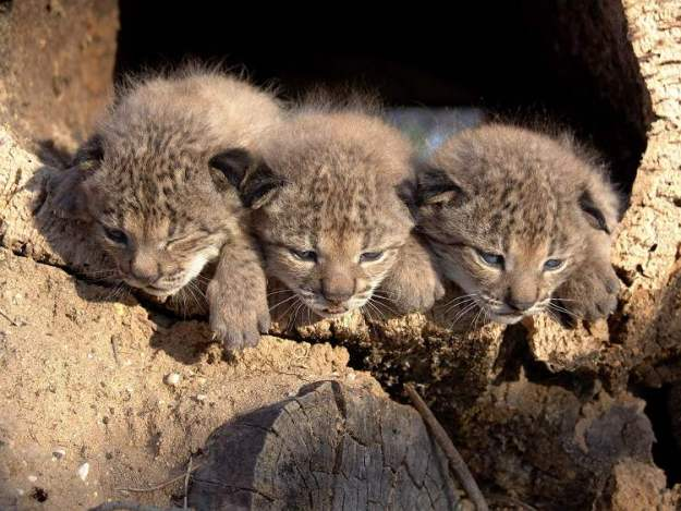 Trio of Iberian lynx cubs born in captivity venture outside in Donana national park, Spain