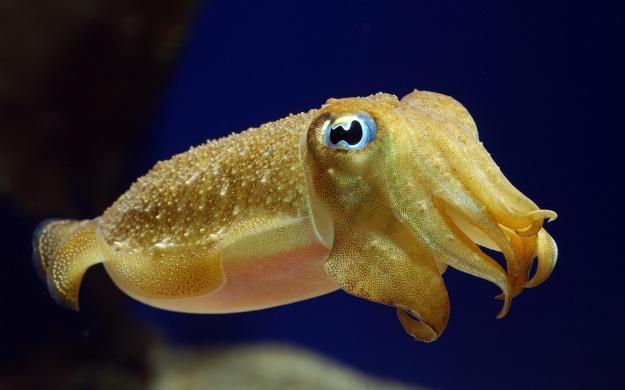 Baby_Cuttlefish