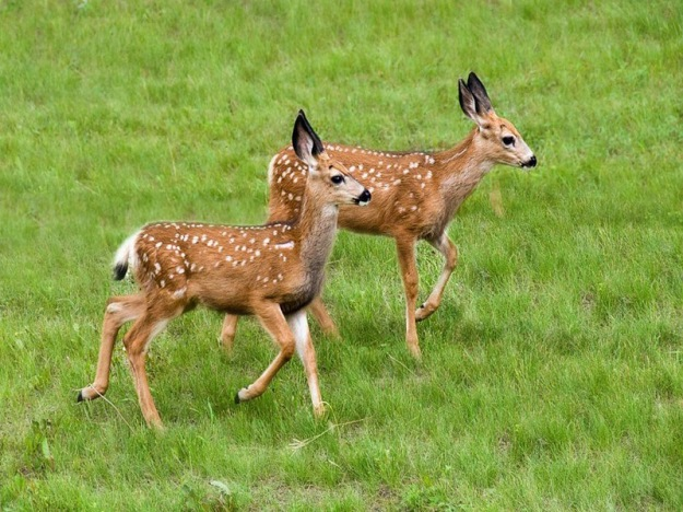baby_deers