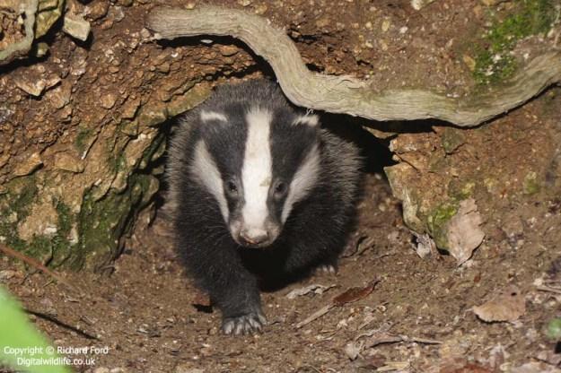 badger cub _MG_1941a lw