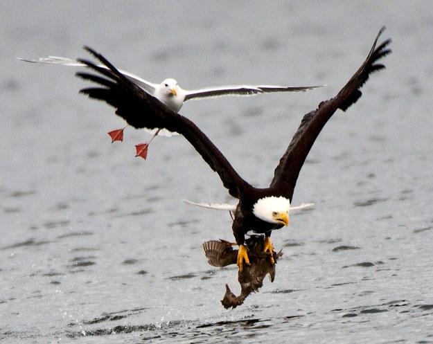 Bald Eagle_with_prey-Doug Parrott