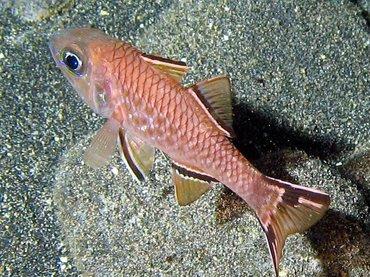bandfincardinalfish1