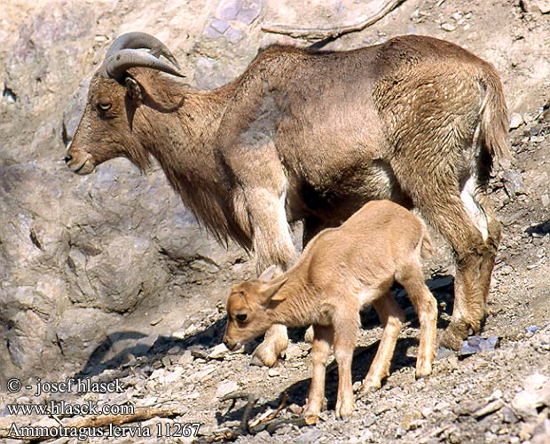 barbary sheep and calf