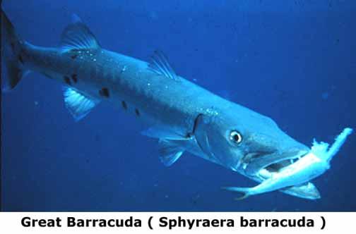 barracuda eating fish