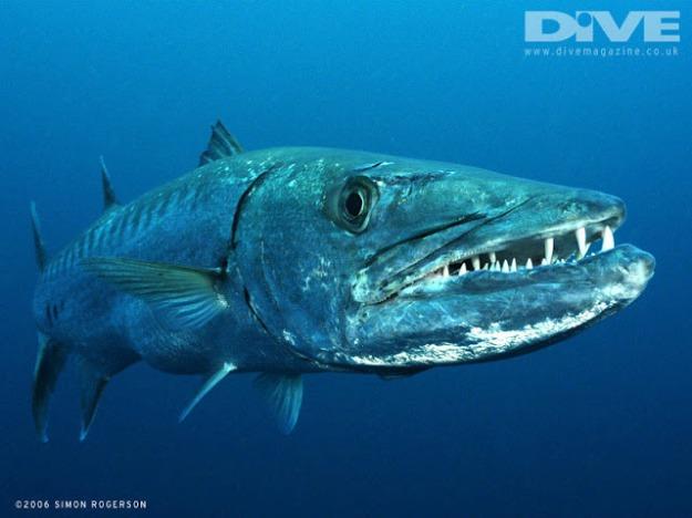 barracuda showing teeth