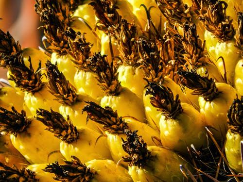 Barrel Cactus Fruit-1