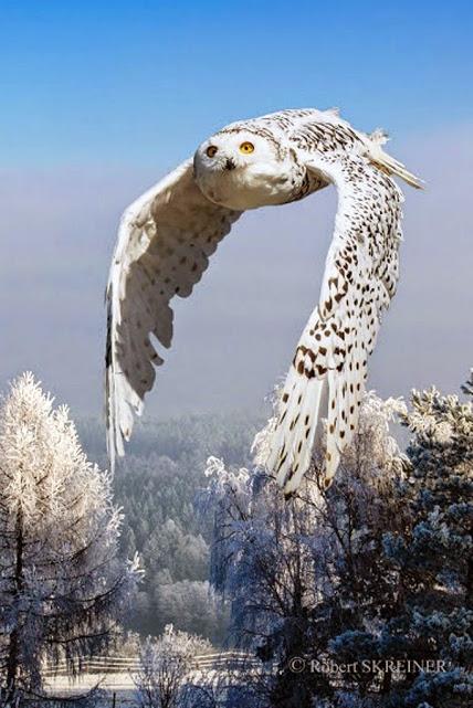 Búho nevado se trata de una hembra adulta,los machos adultos son casi blanco puro