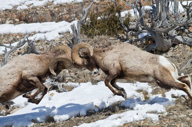 Fighting Big Horn Sheep, Yellowstone NP, WY