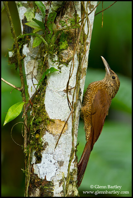 Black-banded Woodcreeper (Dendrocolaptes picumnus) perched on a branch in Peru.
