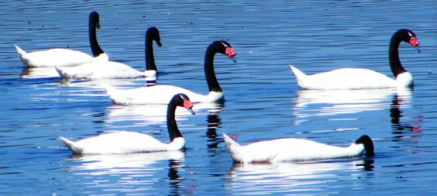 black necked swans feeding