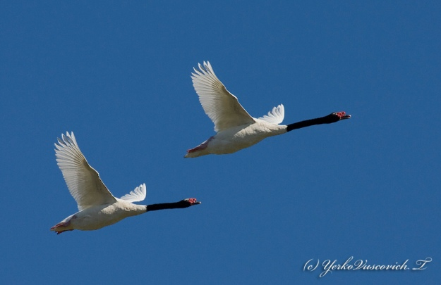black necked swans flying