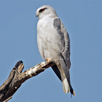 black-shouldered-kite-bharatpur-2008
