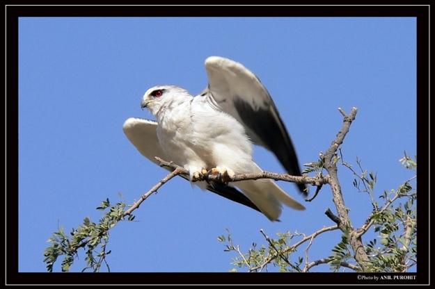 _black-shouldered_kite