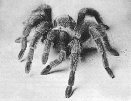black tarantula spider
