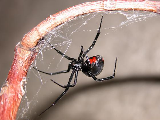 black_widow_spider