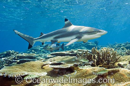 blacktip-reef-shark-45M2674-04