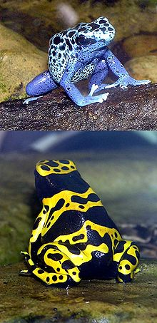 Blue-poison.dart.frog.and.Yellow-banded.dart.frog.arp