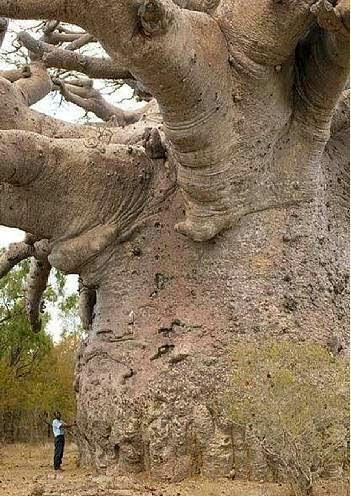 Boabab Tree, also known as the tree of life, Baobab trees, found in Africa and India, can live for several thousand years. They have little wood fiber, but can store large quantities of water.