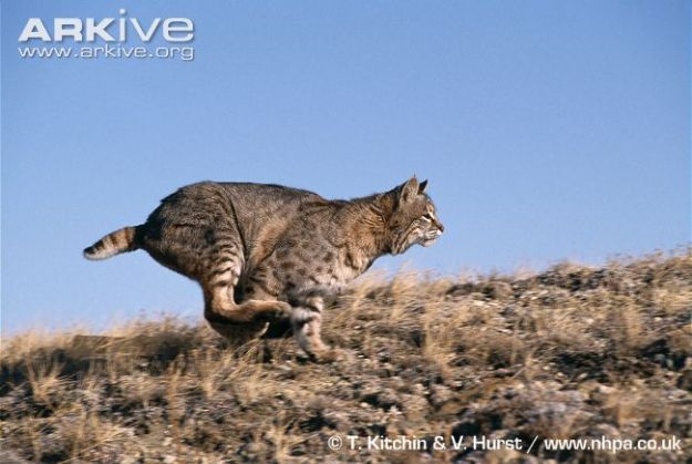 Bobcat-chasing-prey