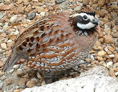 bobwhite-quail-3