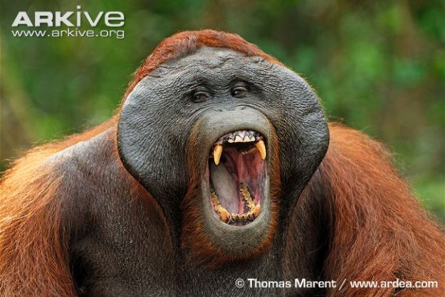 Bornean-orangutan-male-yawning-showing-canines