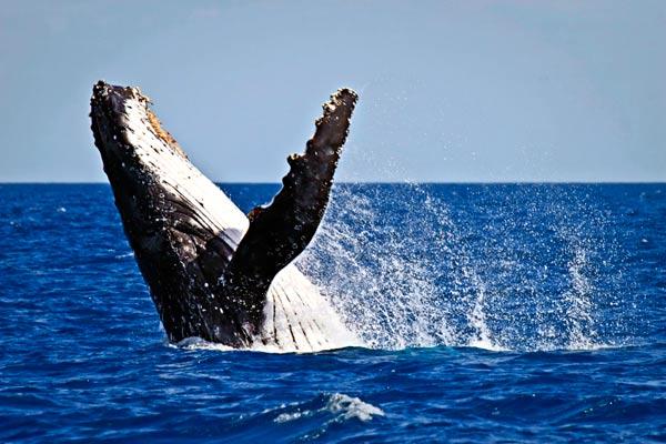 breaching-humpback-whale-lg