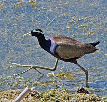 bronze-winged-jacana-2-bharatpur-2008