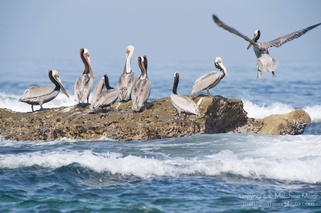 brown-pelican-bird-photo-015834