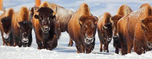 buffalo herd in winter